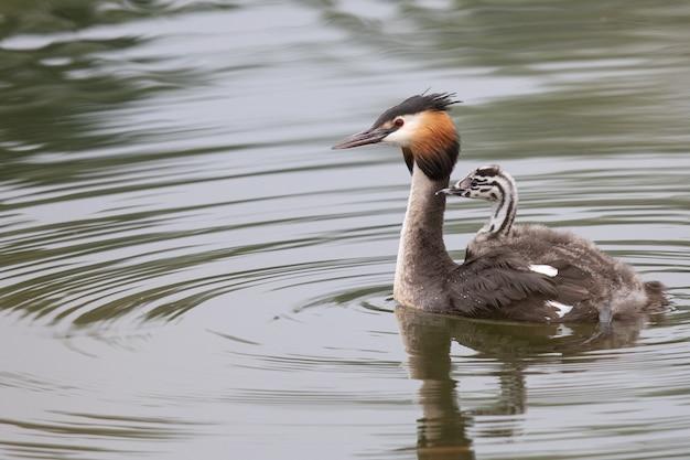 Svasso maggiore nuota in un lago con pulcini sulla schiena