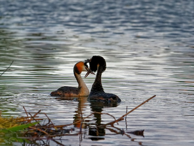 Great crested grebes swimming in the lake