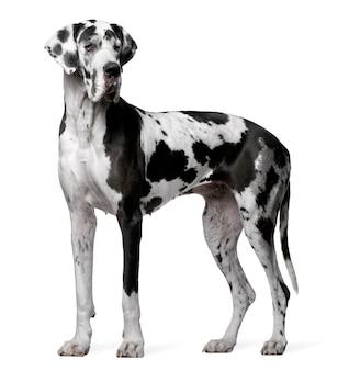 グレートデーンハーレクイン、4歳。分離された犬の肖像画