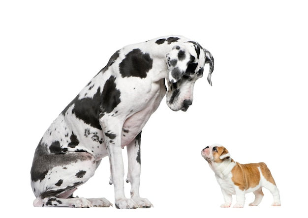 Great dane looking at a french bulldog puppy in front of a white