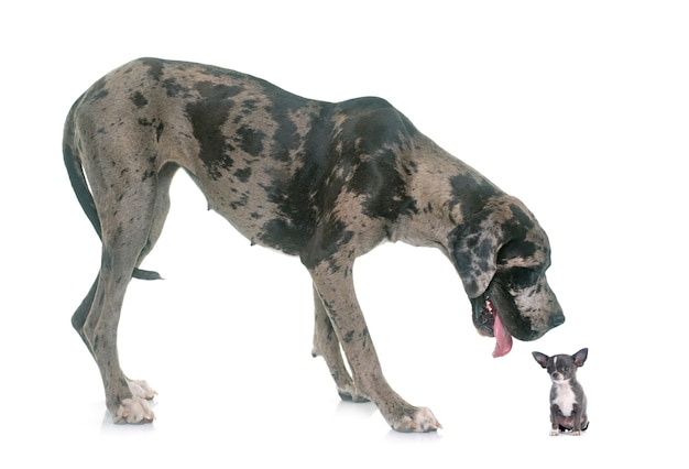 Great dane and puppy chihuahua