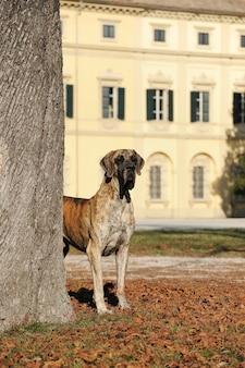 Great dane purebred dog