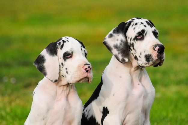 Great dane purebred puppy dog