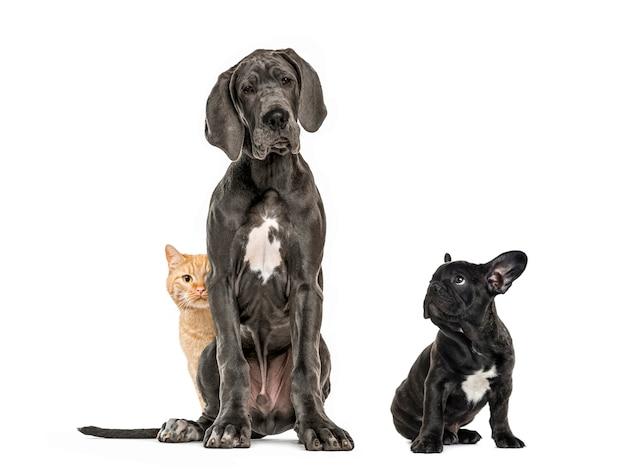 グレートデーンが座っている、子犬の黒いフレンチブルドッグが座って目をそらしている、ヨーロッパの猫が座っている