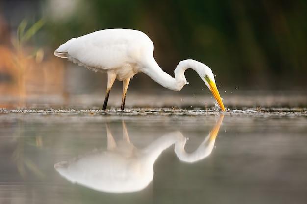 Большая белая цапля пьет воду летом на природе.