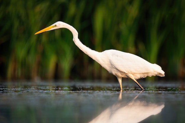 Great egret hunting in river in summer at sunset
