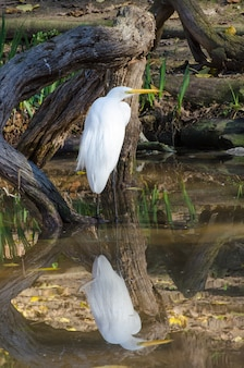 Great egret perfect reflection in still pond water