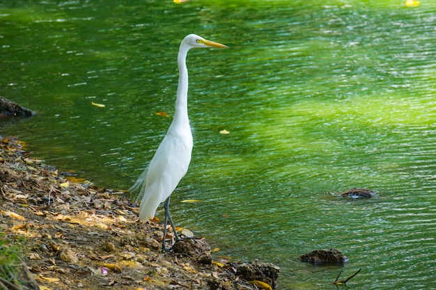 Great egret, the snowy white bird's beautiful plumage made it far too popular