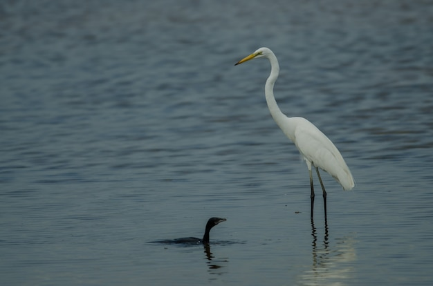 Great egret standing in a shallow creek and little cormorant