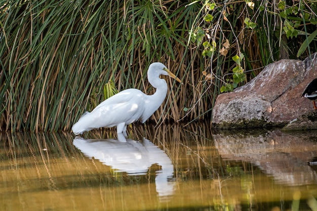 Great egret standing still in the water with beautiful reflections