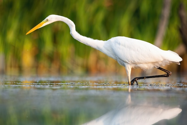 Great egret wading in swamp