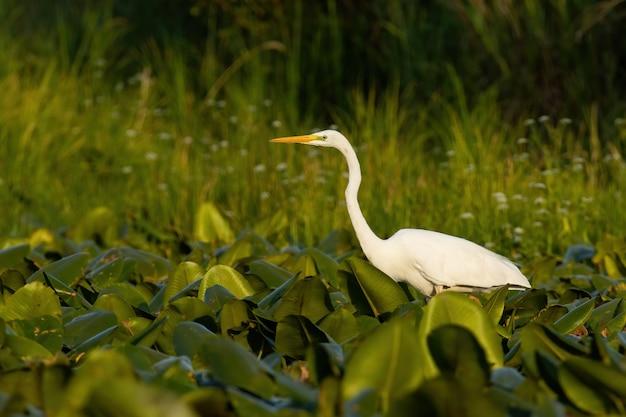 夏の日没の湿地で魚を待っているダイサギ