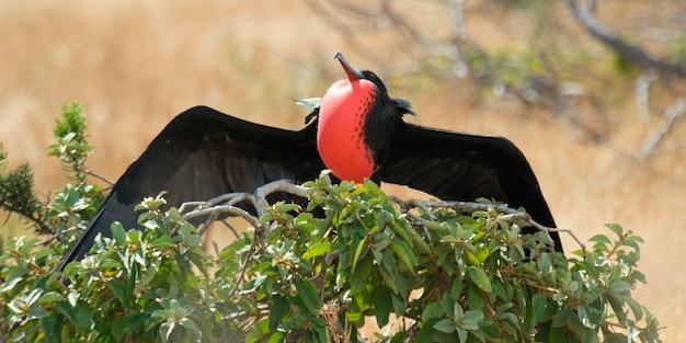 Great frigatebird (fregata minor) about to take off, north seymour island, galapagos islands, ecuador