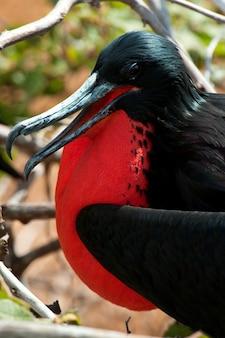 Great frigatebird (fregata minor), north seymour island, galapagos islands, ecuador