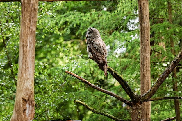 The great grey owl or great gray owl, strix nebulosa, documented as the world's largest species of owl by length , it is shown here perched on a post in an unusual pose