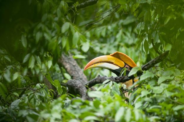 Great hornbill in rainforest.
