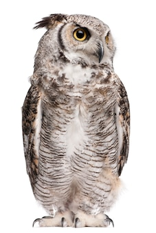Great horned owl, bubo virginianus subarcticus, on white isolated