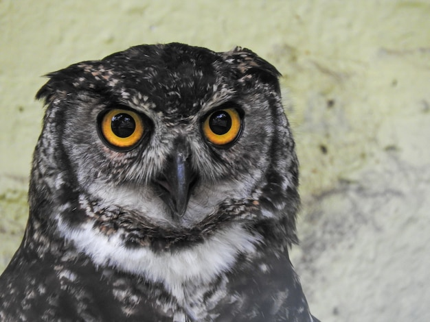 A great horned owl in captivity,