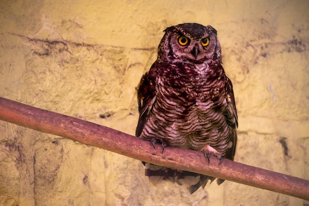 A great horned owl in captivity