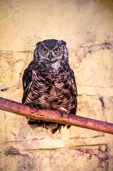A great horned owl in captivity Premium Photo