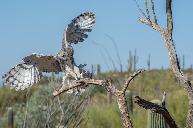 Great horned owl coming in for a landing with outstretched talons