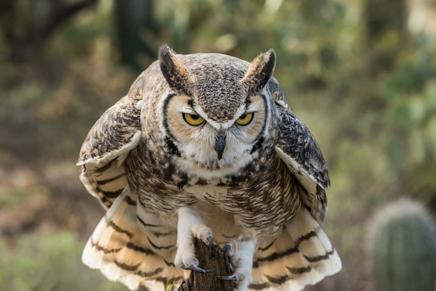 Great horned owl, perched and intense