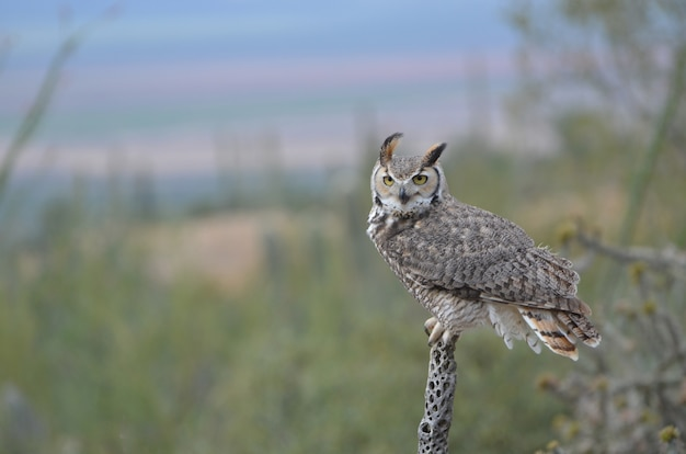 Great horned owl, perched with the wind blowing
