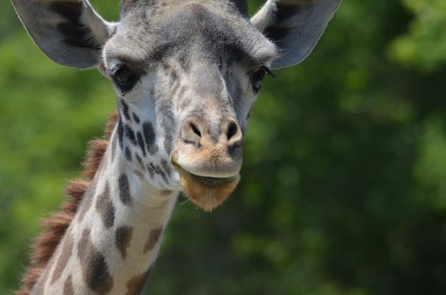 Un grande sguardo al volto di una giraffa da vicino e personale.