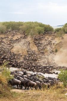 Большая миграция в африке огромные стада травоядных река мара кения Premium Фотографии