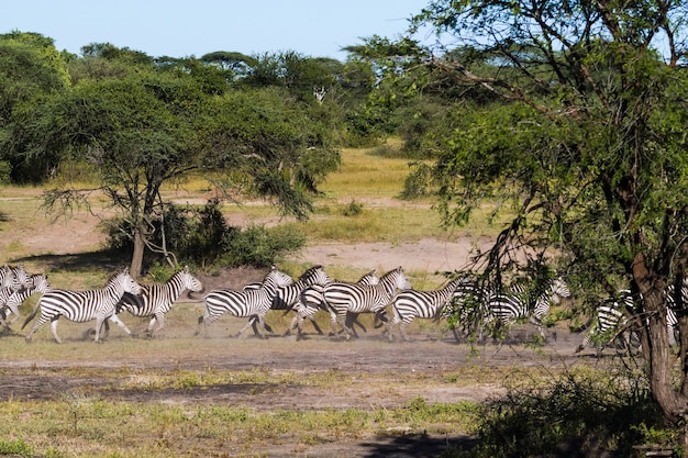 Великое переселение в серенгети. африка Premium Фотографии