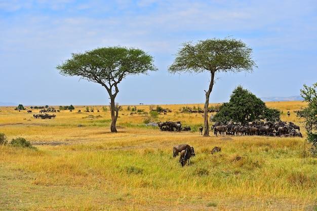 アフリカのサバンナでのヌーの大移動