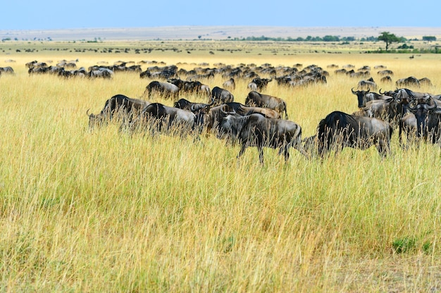Great migration of wildebeest in the african savannah