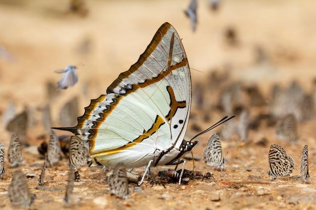 Большой наваб, buuterfly в таиланде