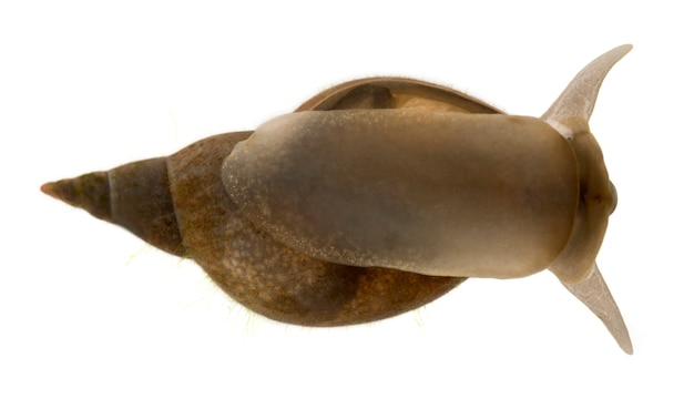 Great pond snail - lymnaea stagnalis, is a species of  freshwater snail