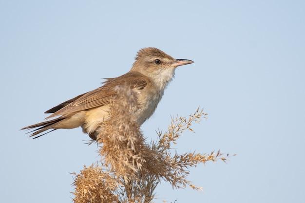 Большая птица камышевка в среде обитания