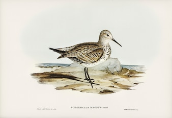 Great Sandpiper (Schoeniclus magnus) illustrated by Elizabeth Gould
