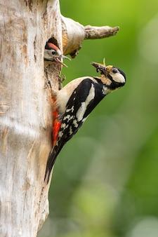 Большой пестрый дятел, dendrocopos major, залезает на дерево с отверстием для гнезда кормящий птенец выглядывает