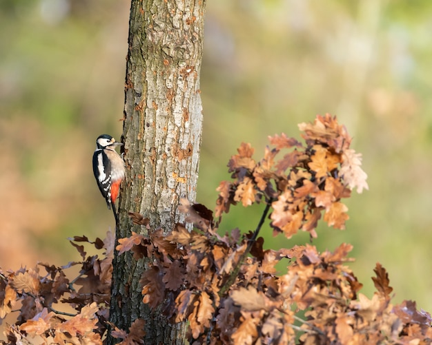 Great spotted woodpecker (dendrocopos major) sitting on a trunk.