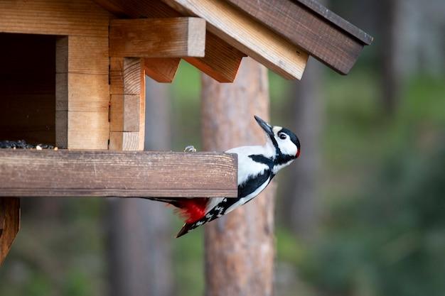 Great spotted woodpecker eats seeds in a wooden bird feeder
