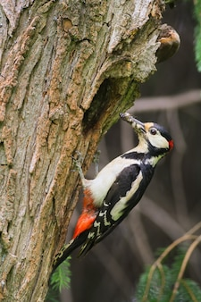 Great spotted woodpecker holding insect on tree in spring