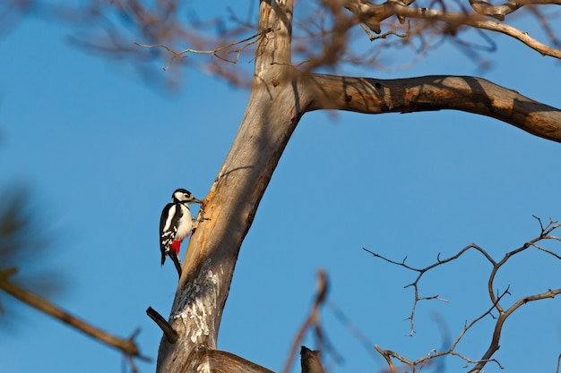 Great spotted woodpecker produces seeds of spruce cones. eating birds. dendrocopos major