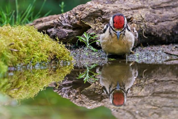 Picchio rosso maggiore che riflette nell'acqua
