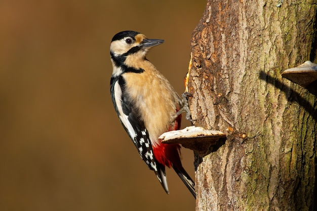 Great spotted woodpecker sitting on tree in spring