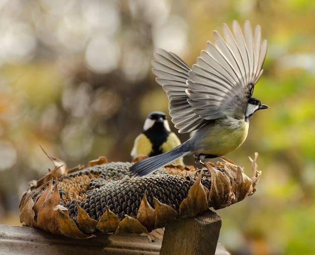 Большие синицы птицы едят семена подсолнечника из сухих цветов в осеннем саду. одна из птиц расправляет крылья и собирается улетать