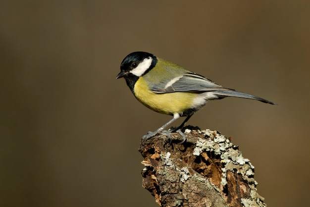 Great tit on a branch with the last light of the afternoon, birds, passerine, parus major