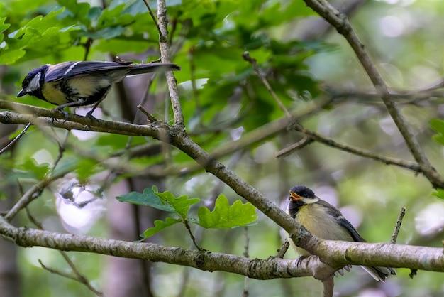 Птенец большой синицы сидит на дереве и выпрашивает еду у родителей