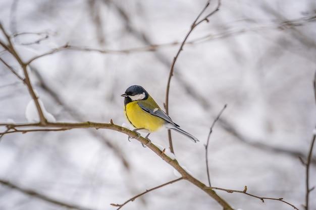 Большая синица parus major на снежном дереве в зимнем парке, украина. крупным планом птица в природе