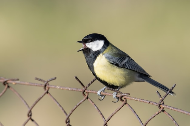 Great tit (parus major) sitting on a wire with soft background.