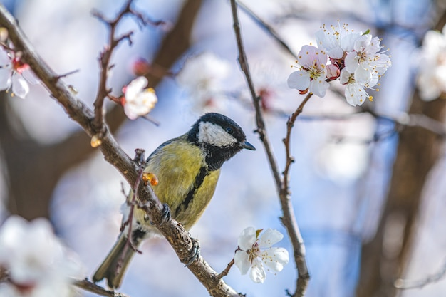 Great tit (parus major) on a white apricot tree blossom branch