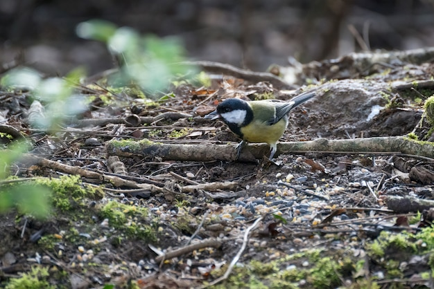 Great tit perched on a branch with seed in its mouth